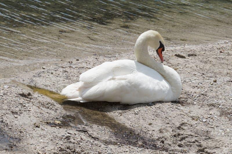 Schöner Schwan schläft auf dem Ufer von einem Teich stockfoto