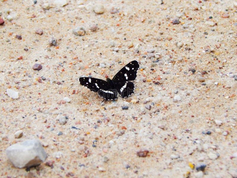 Schöner schwarzer Schmetterling auf der Straße lizenzfreie stockbilder