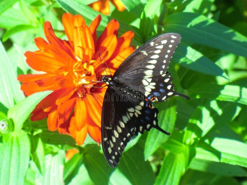 Schöner schwarzer Swallowtail-Schmetterling auf orange Zinnia stockbilder