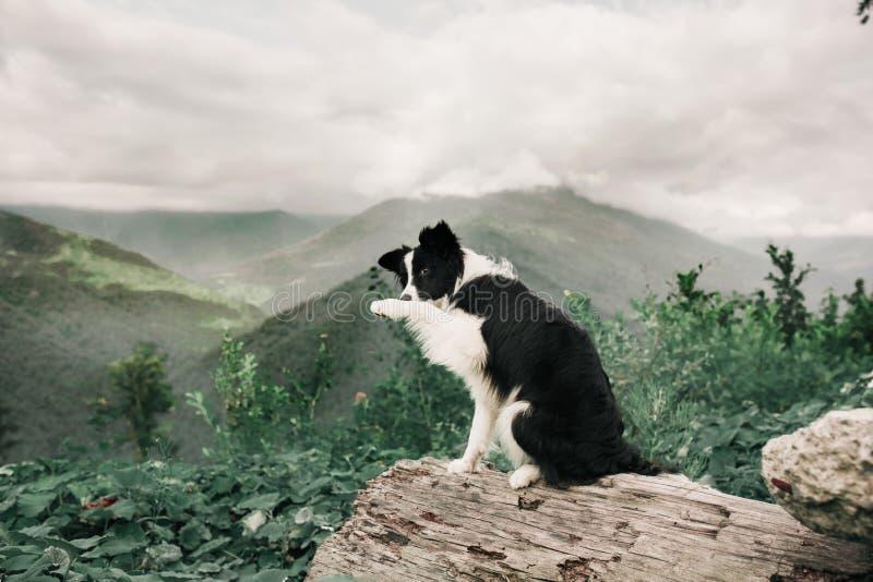 Schöner Schwarzweiss-- Hunde-border collie-Aufenthalt auf einem Felsen auf dem Gebiet und in camera schauen und einen Trick tun I stockfotos