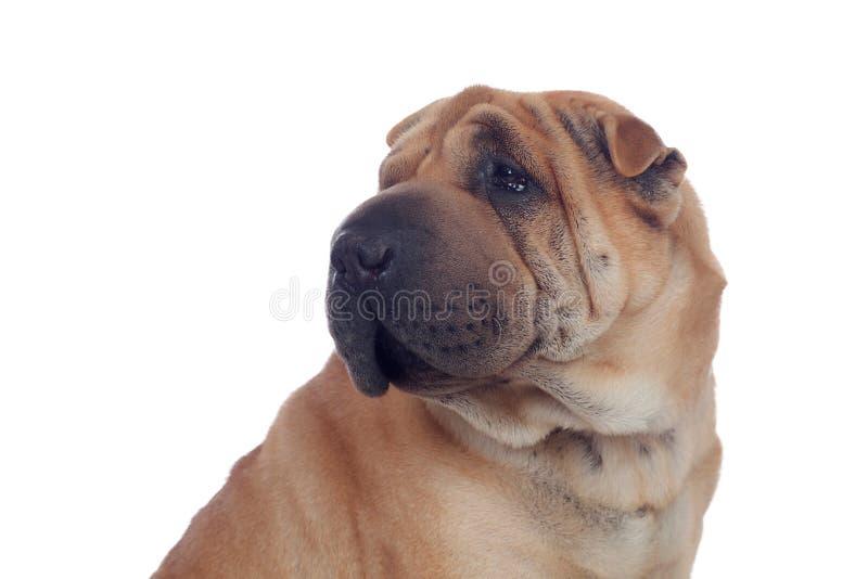 Schöner Shar Pei Dog Breed stockfotos