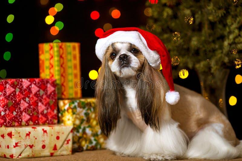 Schöner shih-tzu Hund in der Sankt-Haube lizenzfreies stockbild
