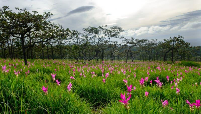 Schöner Siam Tulip in der Natur lizenzfreie stockfotos