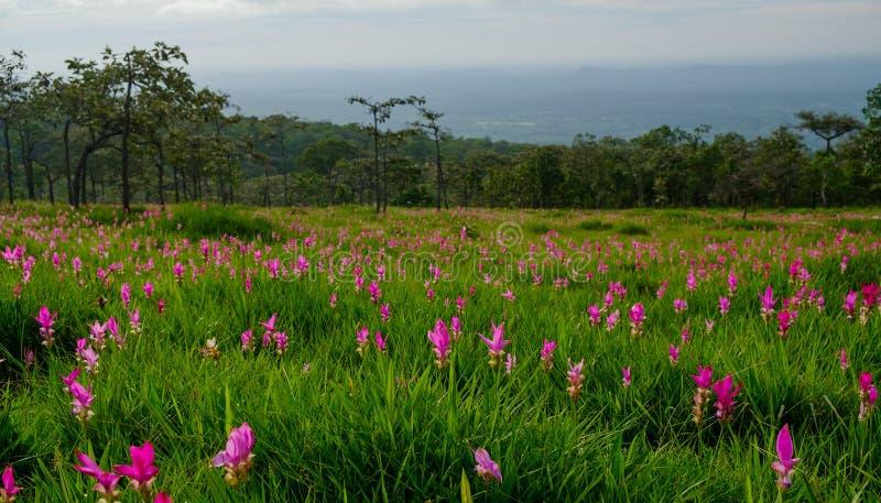 Schöner Siam Tulip in der Natur stockfotos