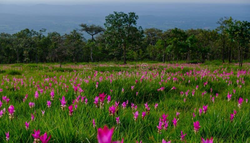 Schöner Siam Tulip in der Natur stockfotografie