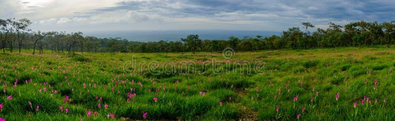 Schöner Siam Tulip in der Natur lizenzfreies stockfoto