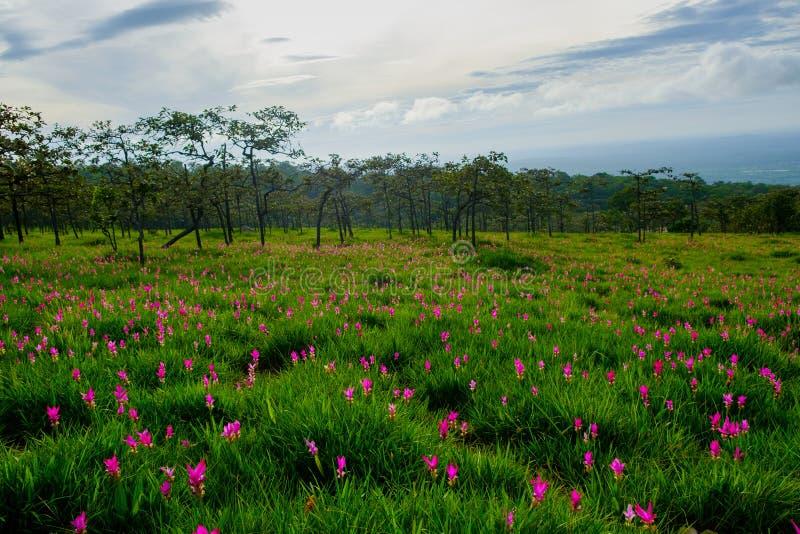 Schöner Siam Tulip in der Natur stockbilder