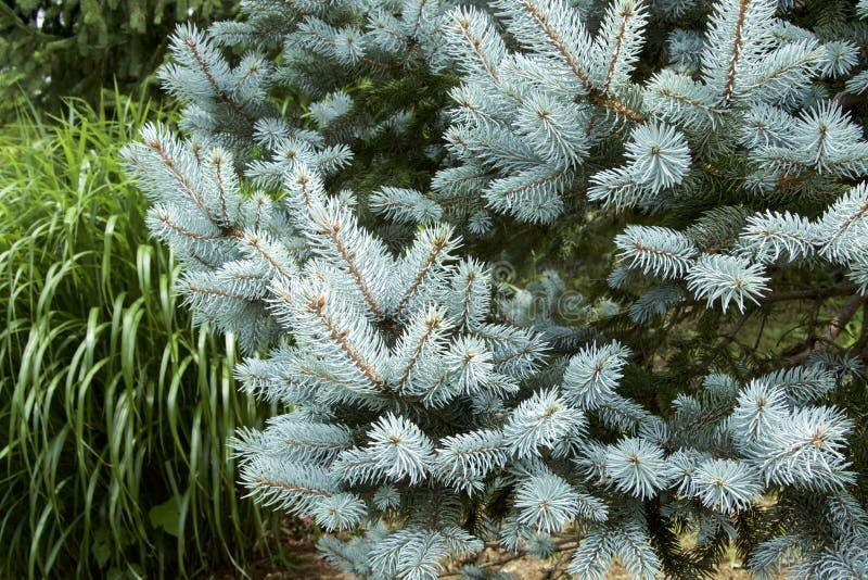 Schöner Silbertannenbaum stockfoto