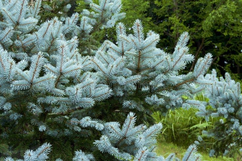 Schöner Silbertannenbaum stockbild