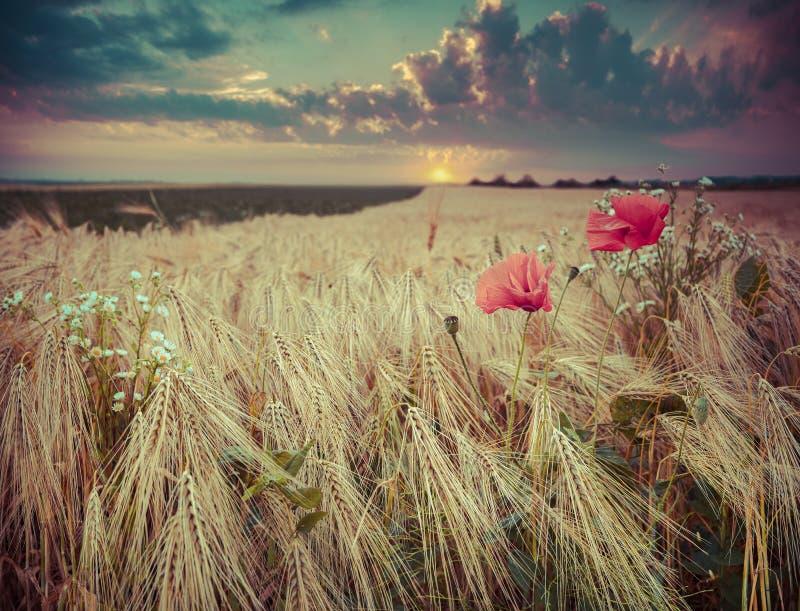 Schöner Sommersonnenuntergang auf einem Weizenfeld mit Mohnblumen und daisie lizenzfreie stockfotos