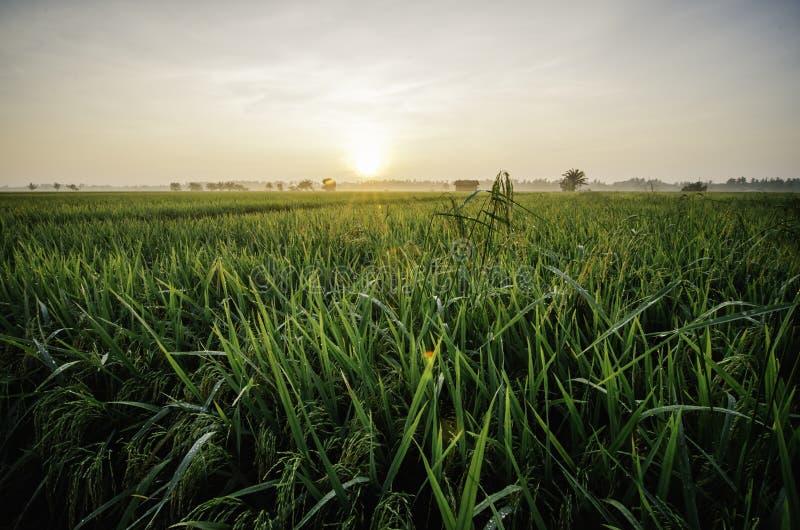 Schöner Sonnenaufgang am Reisfeld grüne Paddyanlage mit Tau Verzichthaus umgeben durch grünen Paddy stockbild