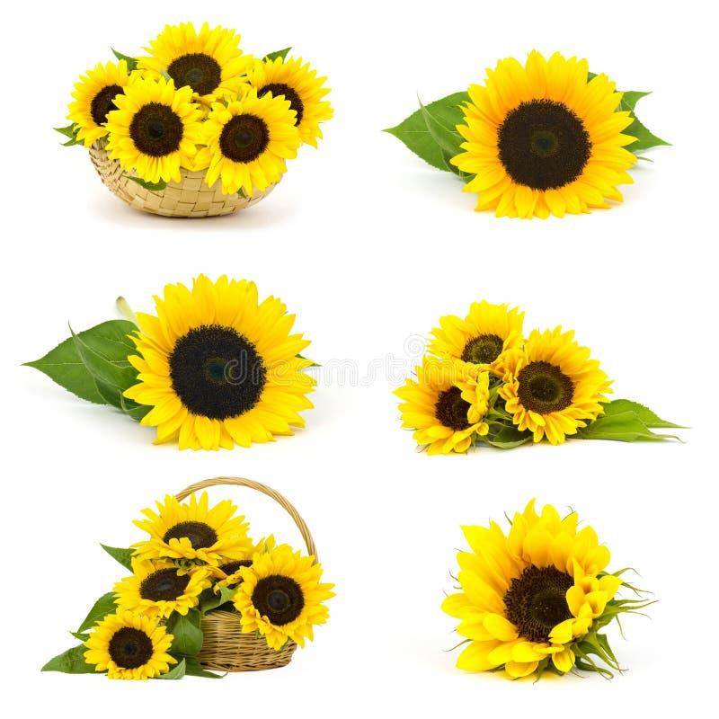 Schöner Sonnenblumen Helianthus - Collage stockbild
