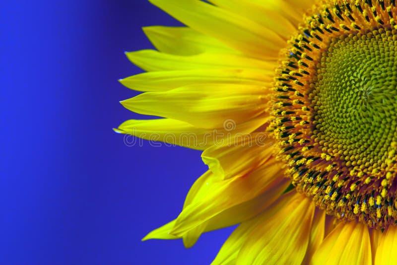 Schöner Sonnenblumenkopf und -blumenblätter auf dunkelblauem Hintergrund stockbild