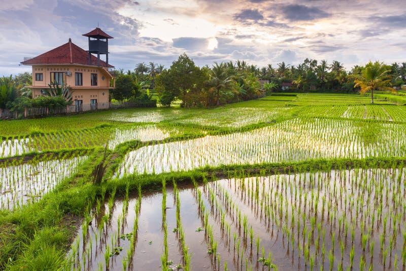 Schöner Sonnenuntergang über dem Reisfeld, Ubud, Bali lizenzfreies stockfoto