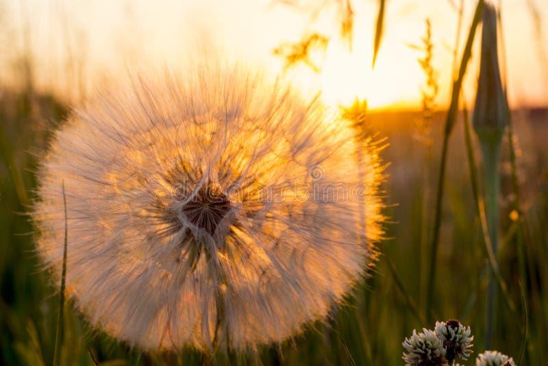 Schöner Sonnenuntergang mit Löwenzahnblume und ländlichem Feld, Naturhintergrund lizenzfreies stockbild