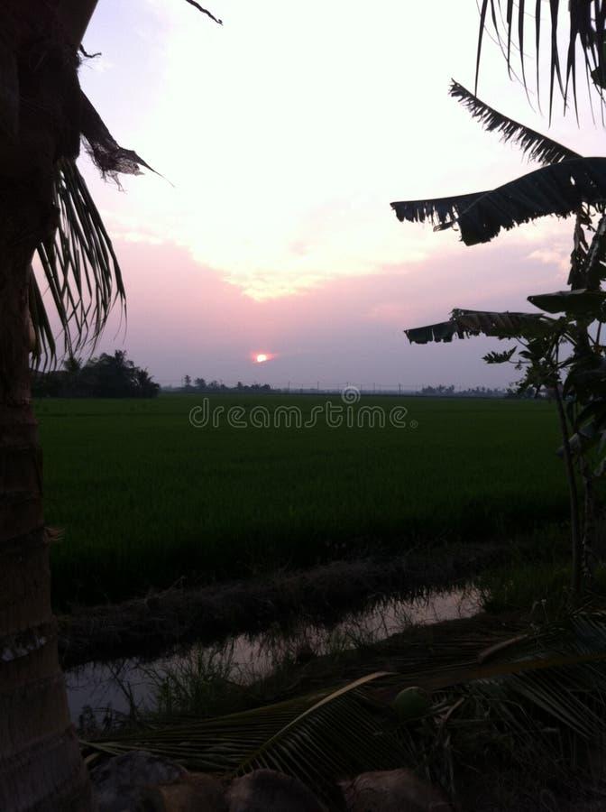 schöner Sonnenuntergang am Reisfeld lizenzfreie stockfotos
