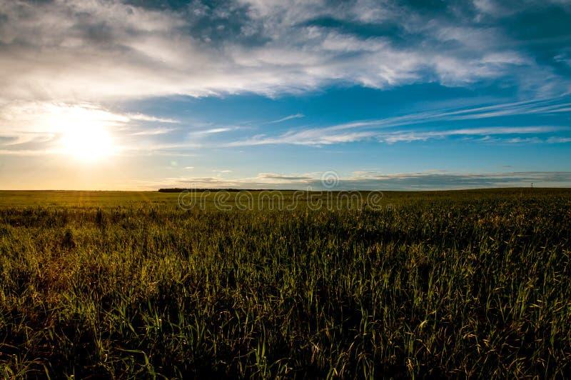 Schöner Sonnenuntergang, warmer Sommerabend auf dem Gebiet des grünen, nicht gereiften Weizens lizenzfreies stockbild