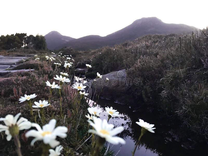 Schöner Sonnenuntergangansicht hartz Spitzen-Tasmanien-Berg mit Gänseblümchen lizenzfreies stockfoto