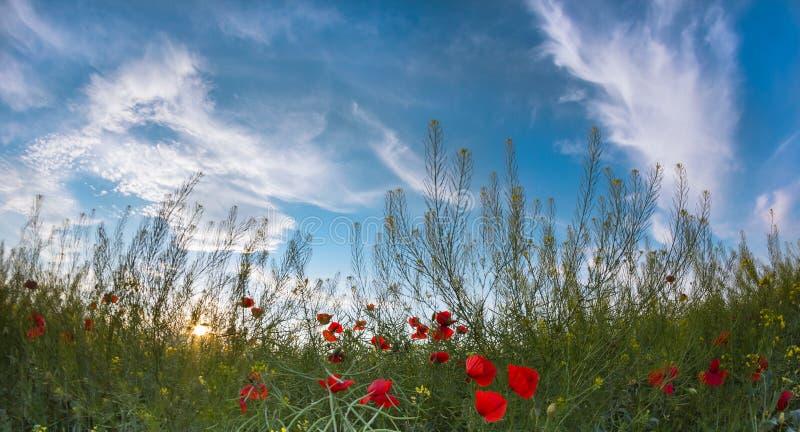 Schöner Sonnenunterganghimmel mit weißen Wolken über einem grünen Sommerfeld mit Mohnblumen lizenzfreie stockbilder