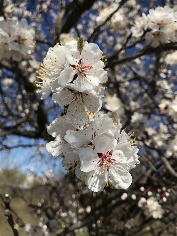 Schöner sonniger Tag der Blütenbäume im Frühjahr stockfoto