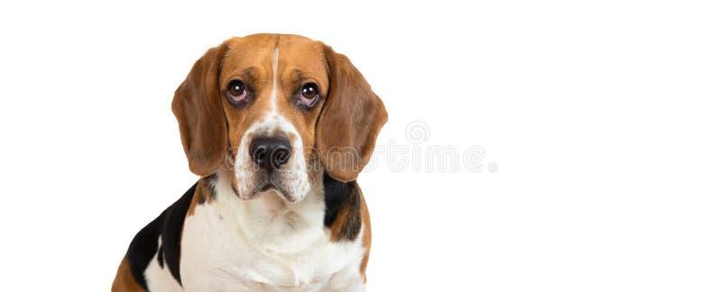 Schöner Spürhundhund auf weißem Hintergrund Aufstellung am Studio lizenzfreies stockbild