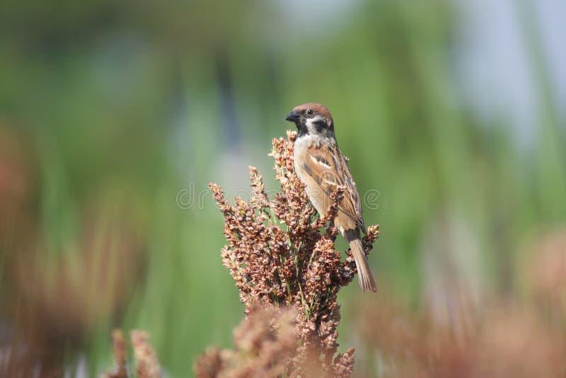 Schöner Spatzenvogel auf Ernte stockfotografie