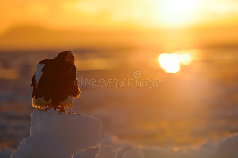 Schöner Steller-` s Seeadler, Haliaeetus pelagicus, Morgensonnenaufgang, Hokkaido, Japan Eagle, das in Meer auf Eis schwimmt Beh  lizenzfreie stockfotografie