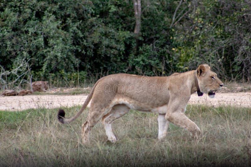 Schöner, stolzer, schlanker weiblicher Löwe mit gps-Lokolisierungskragen frei gehend in südafrikanische private Spielreserve und  stockbild