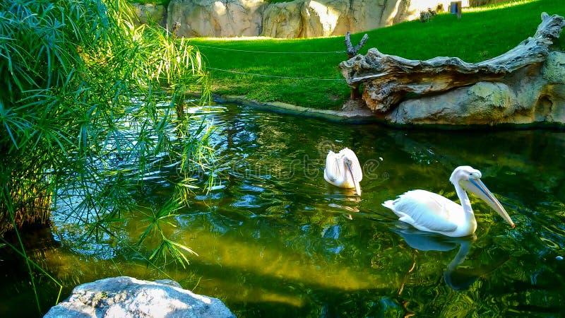 Schöner Teich mit Türkiswasser und weißen Pelikanen lizenzfreie stockfotografie
