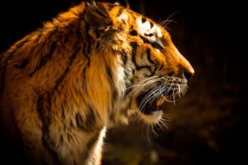 Schöner Tiger gegen dunklen Hintergrund lizenzfreies stockbild