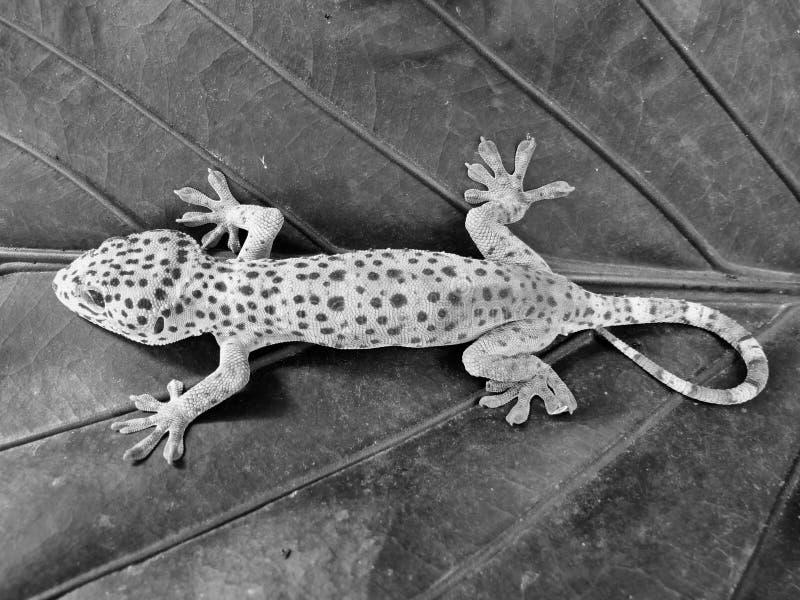 Schöner Tokay-Gecko, gehockt auf den Blättern stockbild