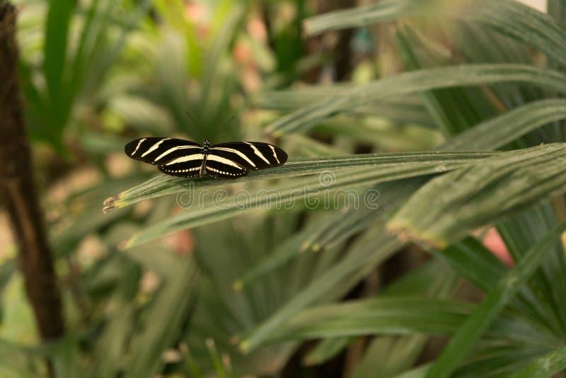 Schöner tropischer Schmetterling, der auf einer Niederlassung der exotischen Anlage sitzt lizenzfreie stockfotografie