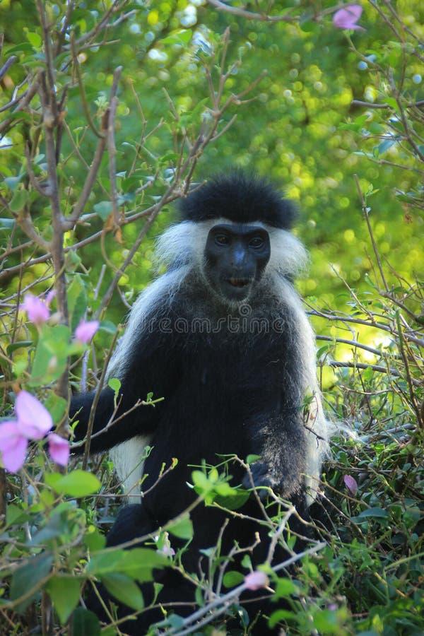 Schöner und ungewöhnlicher kluger Affe Colobus in Kenia afrika stockbilder