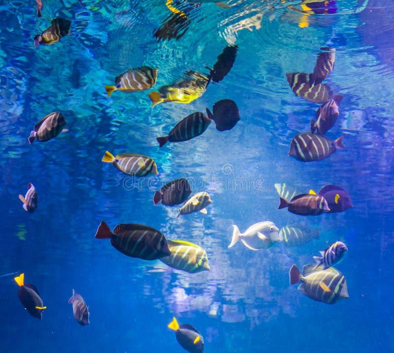 Schöner Unterwasserschuß mit einer großen Schule von Chirurgfischen, Meeresflora und -fauna-Hintergrund stockbilder