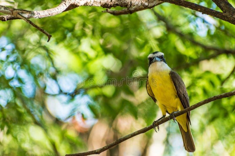 Schöner Vogel Brazillian lizenzfreie stockfotografie