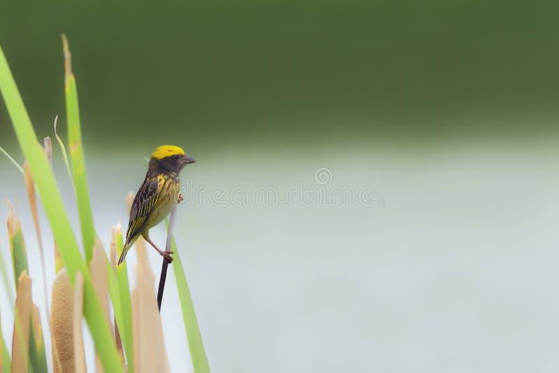 Schöner Vogel (gestreifter Weber) hockend auf Gras lizenzfreies stockbild