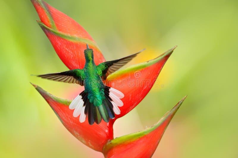Schöner Vogel mit roter Blüte Heliconia-Blume mit Kolibri Tobago-Insel Kolibri Weiß-angebundenes Sabrewing-Fliegen nahe bei stockfoto