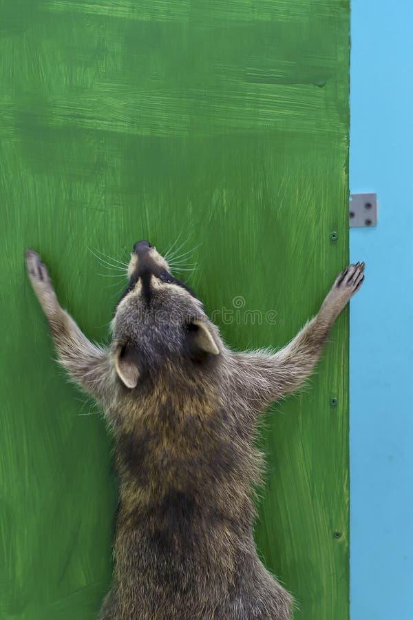 Schöner Waschbär springt an der grünen Wand im Zoo lizenzfreies stockbild