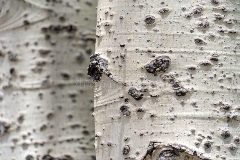 Schöner weißer Birkenrindebaumabschluß oben, nützlich für Hintergründe lizenzfreies stockfoto