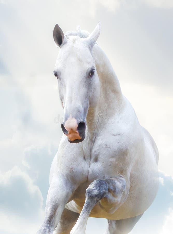 Schöner weißer Hengst stockfoto