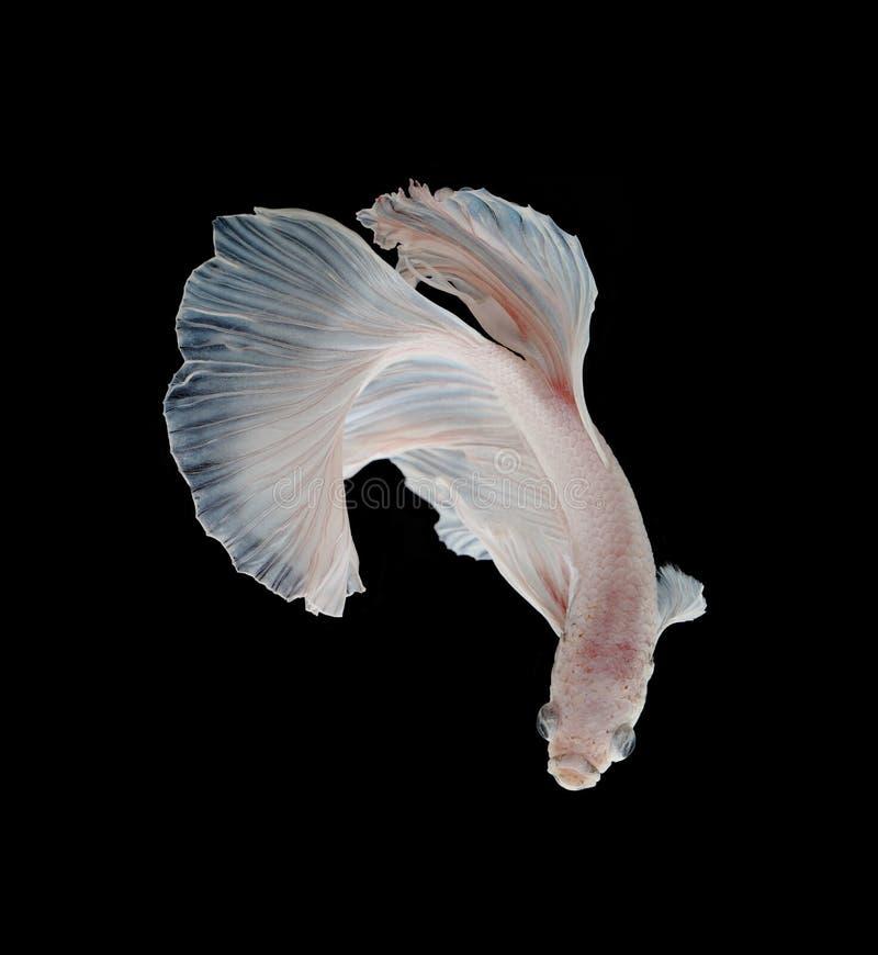 Schöner weißer Platt-Platin-Siamesischer Kampffisch Weißer Siam lizenzfreies stockfoto
