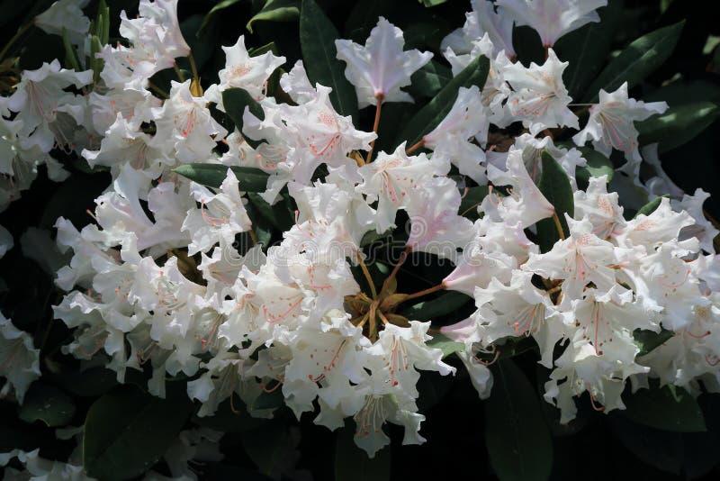 Sch?ner wei?er Rhododendron w?hrend der Fr?hlingsbl?te stockbilder