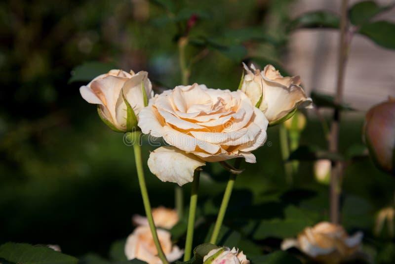 Schöner weißer Rosenbusch, der im Garten wächst stockbild