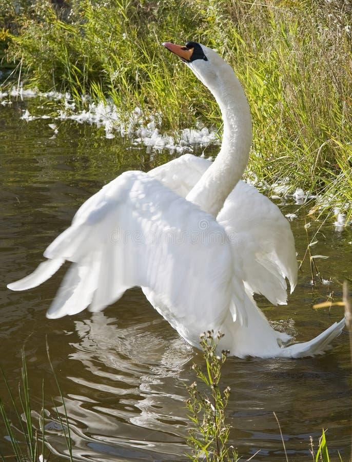 Schöner weißer Schwan lizenzfreie stockfotografie