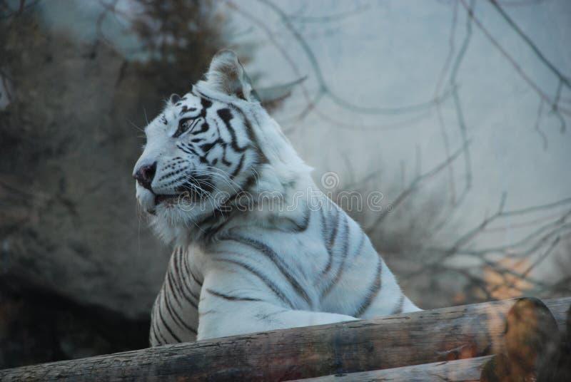 Schöner weißer Tiger in einem Moskau-Zoo lizenzfreie stockbilder