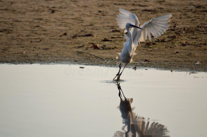 Schöner weißer Vogel, der weg fliegt stockfotografie