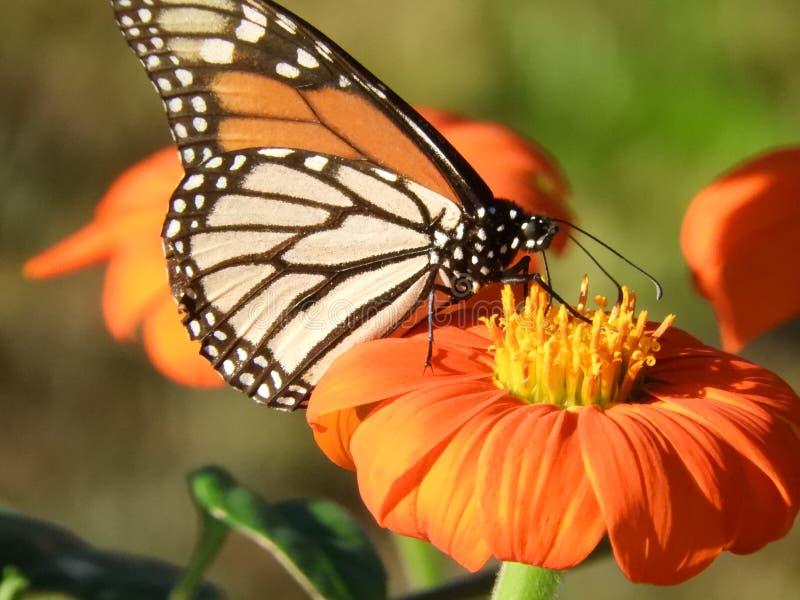 Schöner weiblicher Monarchfalter auf orange Zinnia lizenzfreies stockbild