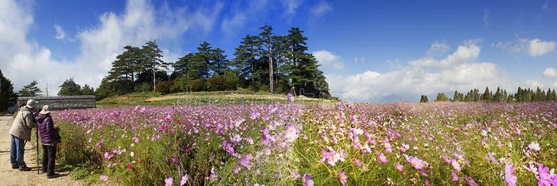 Schöner Weitwinkelblumenhintergrund Panoramische Blumentapete mit rosa Chrysanthemenblumen schließen oben stockfotografie