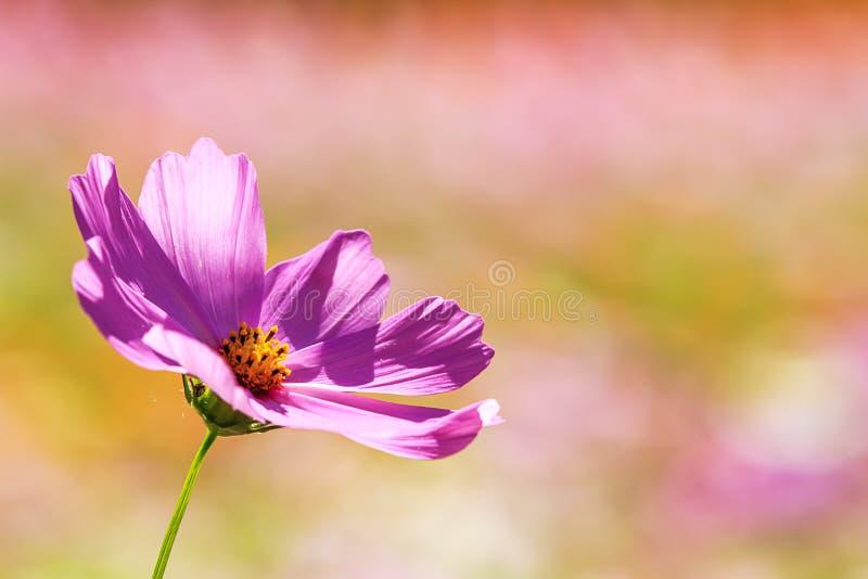 Schöner Weitwinkelblumenhintergrund Panoramische Blumentapete mit rosa Chrysanthemenblumen schließen oben stockfotos