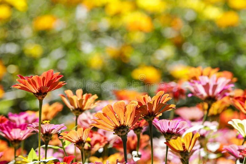 Schöner Weitwinkelblumenhintergrund Panoramische Blumentapete mit rosa Chrysanthemenblumen schließen oben lizenzfreies stockfoto